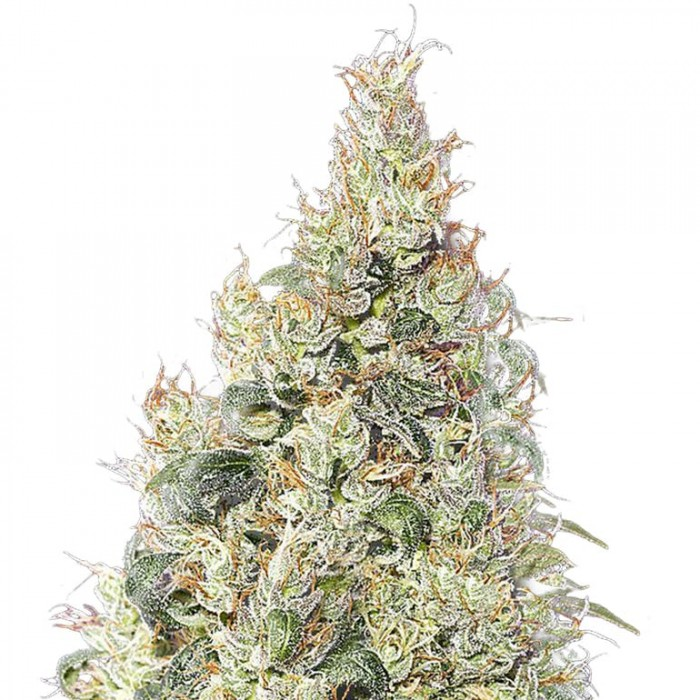 Great White CBD Green House