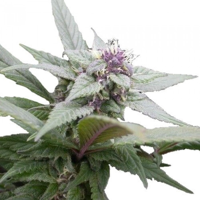 Royal Queen Seeds Royal Bluematic