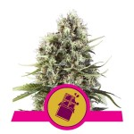 Royal Queen Seeds Chocolate Haze FEM