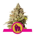 Royal Queen Seeds Royal Gorilla FEM