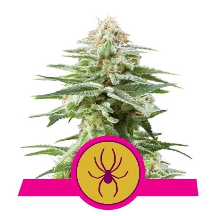 Royal Queen Seeds White Widow FEM