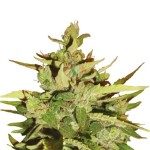 Royal Queen Seeds Stress Killer Automatic CBD
